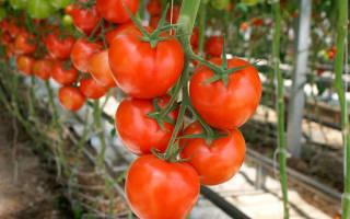 Сорт томатов для теплицы из поликарбоната