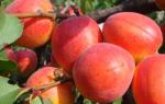 Сорт абрикоса краснощекий фото и описание сорта