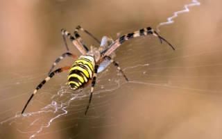 Паук с желтыми полосками на брюшке – аргиопа брюнниха ядовитая или нет для человека?
