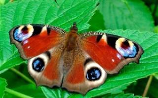 Чем накормить бабочку в домашних условиях – павлиний глаз дневной