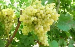 Как вырастить кишмиш на даче, виноград 342 описание сорта фото отзывы, видео