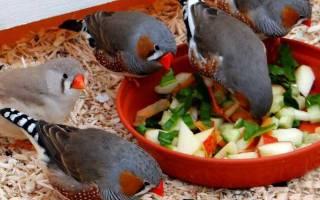 Чем можно кормить амадинов кроме корма?