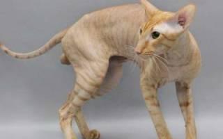 Петерболд кошка описание породы и характера: питерский сфинкс
