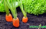 Как очистить семена моркови в домашних условиях?