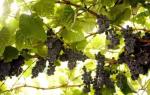 Как опрыскивать виноград железным купоросом осенью?