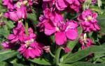 Маттиола вечерний аромат выращивание из семян: метиолы цветы