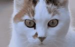 Можно ли вылечить кальцивироз у кошек, язвы во рту у кошки причины