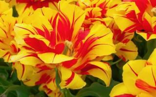 Тюльпаны махровые сорта с фото и названиями