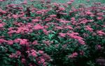 Спирея японская антони ватерер описание – spiraea japonica anthony waterer