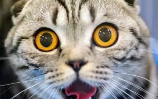 Как понять что говорит кот?