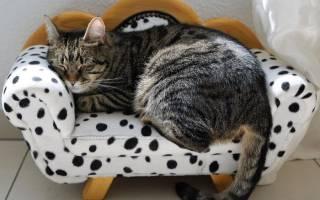 Европейская кошка фото описание породы: кельтский короткошерстный кот