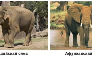 Какой слон больше африканский или индийский?