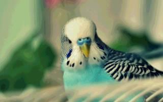 Можно ли попугаям грецкие орехи?