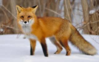 Сколько живет лиса продолжительность жизни?