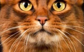 Сомалийская кошка описание породы – Сомали коты