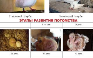 Селекция в голубеводстве — генетика голубей