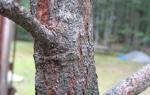 Как лечить кору плодовых деревьев от трещин?