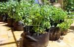 Как посадить картошку в мешках: вырастить картофель в мешке
