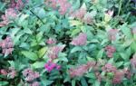 Спирея японская фробели посадка и уход фото, spiraea japonica froebelii