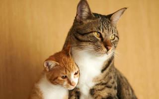 Кошка шипит на котенка, что делать?