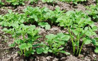 Полив картофеля в открытом грунте