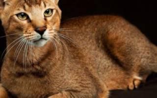 Чаузи кошка фото описание породы