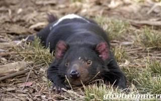 Почему тасманского дьявола так назвали – дьяволы животные