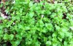 Трава мокрица фото полезные свойства и рецепты