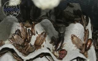 Чем кормить паука птицееда в домашних условиях?