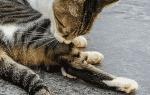 Кошка постоянно вылизывается под хвостом — кот перестал вылизывать себя