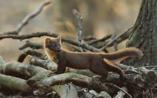 Интересные факты о кунице — повадки лесных животных
