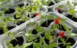 Что такое пикировка томатов – когда пикируют помидоры рассада?