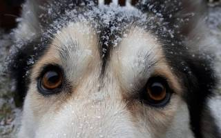 Перхоть у лабрадора причины и лечение – как избавиться от перхоти у собаки?