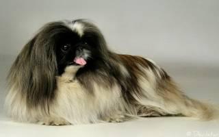 Ходят ли собаки в лоток с наполнителем, как приучить пекинеса к лотку?