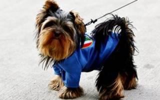 Как должен сидеть комбинезон на собаке, как приучить йорка к одежде?