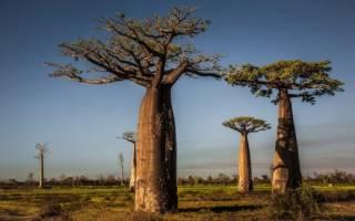 Саванна растительный и животный мир