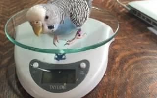 Сколько должен весить волнистый попугай, какаду и ара