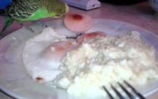 Можно ли давать волнистому попугаю вареное яйцо?