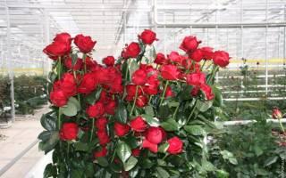Голландские розы фото и названия