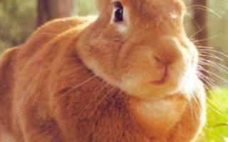 Как определить беременность кролика: как узнать что крольчиха покрыта?