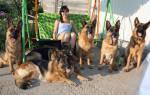 Содержание щенка немецкой овчарки на улице