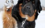Хотошо бурят монгольский волкодав фото – бурятская собака