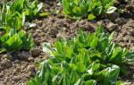 Щавель выращивание из семян когда сажать