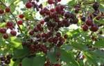 Через сколько лет плодоносит черешня после посадки: срок плодоношения вишни