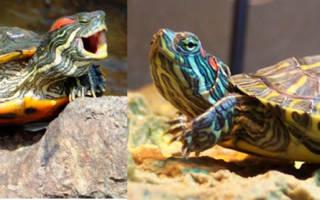 Почему красноухая черепаха ничего не ест?