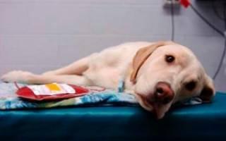 Хламидиоз у собак передается ли человеку