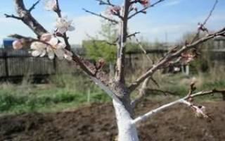 Сроки посадки яблонь осенью в Подмосковье