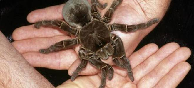 Картинки самых больших пауков в мире – стенная тегенария
