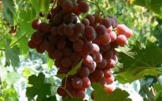 Через сколько лет начинает плодоносить виноград?