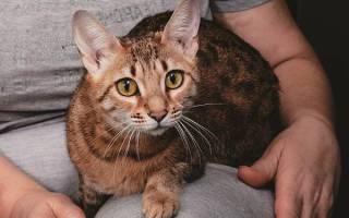 Порода кошек серенгети фото